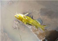 钓黄颡鱼的四种常见技巧