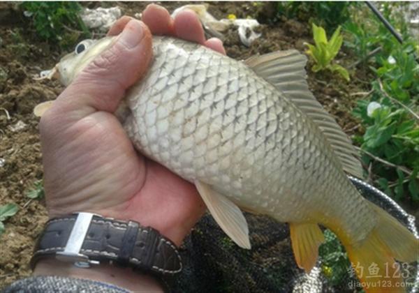 釣鯉魚餌料配方
