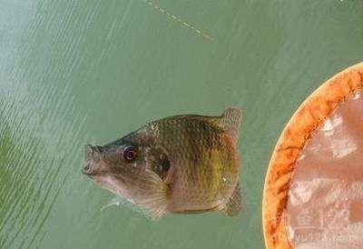 钓罗非鱼高手分享的五个实战技巧