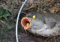 钓鲤鱼的技巧,想钓鲤鱼的钓友得好好看看!