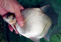 钓鳊鱼的4种技巧与饵料搭配心得
