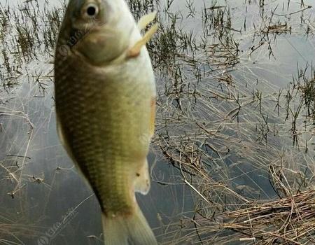 春天如何钓鲤鱼?掌握鲤鱼习性和垂钓技巧,收效翻倍