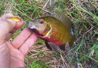 钓罗非鱼拟饵选择与使用技巧