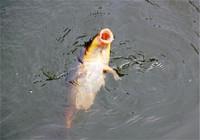 夏秋台钓鲤鱼常用技巧