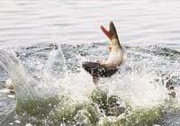 釣魚人深入剖析鯉魚的生活習性