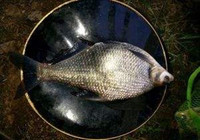 冬季南方池塘钓,作钓鲫鱼、鲤鱼、鳊鱼,晚出早归有渔获!