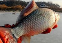 冬钓鲫鱼大全,两分钟就能学会,半小时就能上鱼!