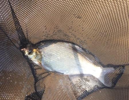 四月二十二日水庫大戰~草鯽鯉鱖鳊 釣魚之家餌料釣青魚