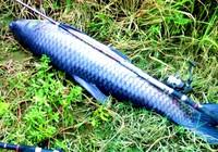 钓青鱼时如何选择钓位以及用饵
