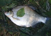 夏季库钓鳊鱼饵料选择与实战技巧