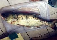 垂钓鲢鳙鱼时习性及鱼饵技巧分析