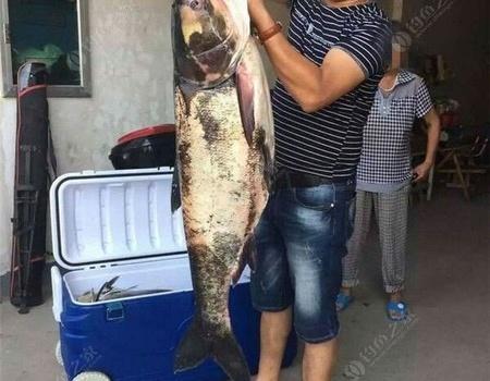 自养塘手竿商品饵浮钓60斤鲢鳙鱼爆护