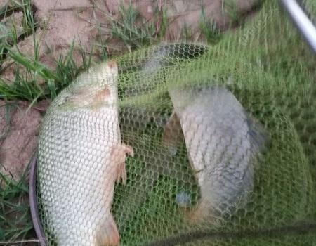 五月第九钓,惊喜,惊险,刺激。 化氏饵料钓鲤鱼