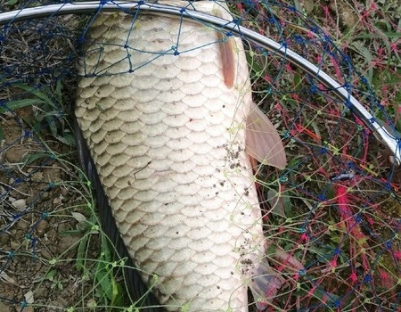 我的大湘鯽 蚯蚓餌料釣鳊魚