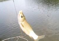 釣魚人淺析釣鰱鳙餌料制作技巧