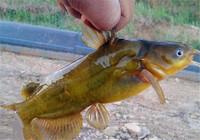 黄颡鱼钓法的简单实用的四点技巧