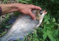 钓鳊鱼饵料选择思路与线组搭配