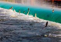 解密鰱魚的生活習性和釣法