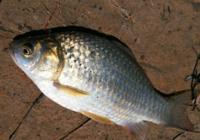 3种秋钓鲫鱼饵配置方法