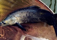 夏季钓青鱼用饵与选位技巧
